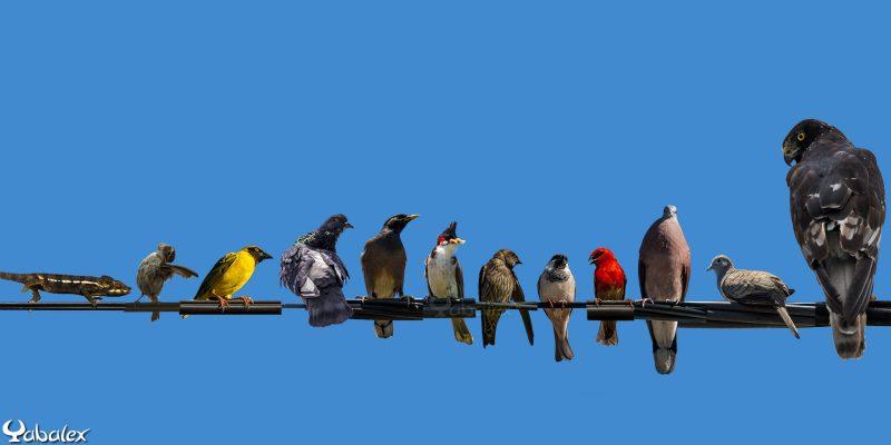 oiseaux sur le fil éclectique à la réunion - yabalex photo