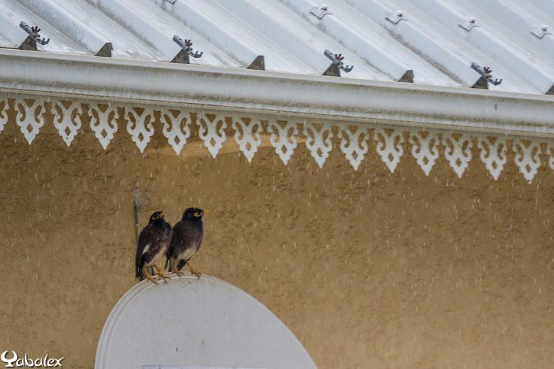 couple de martin à l'abri sous un toit pendant la pluie