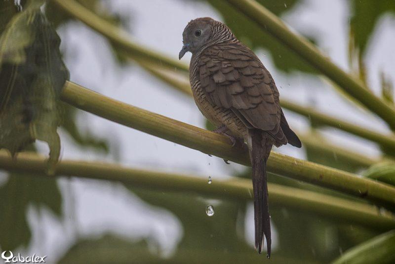 tourterelle strié trempée sous la pluie