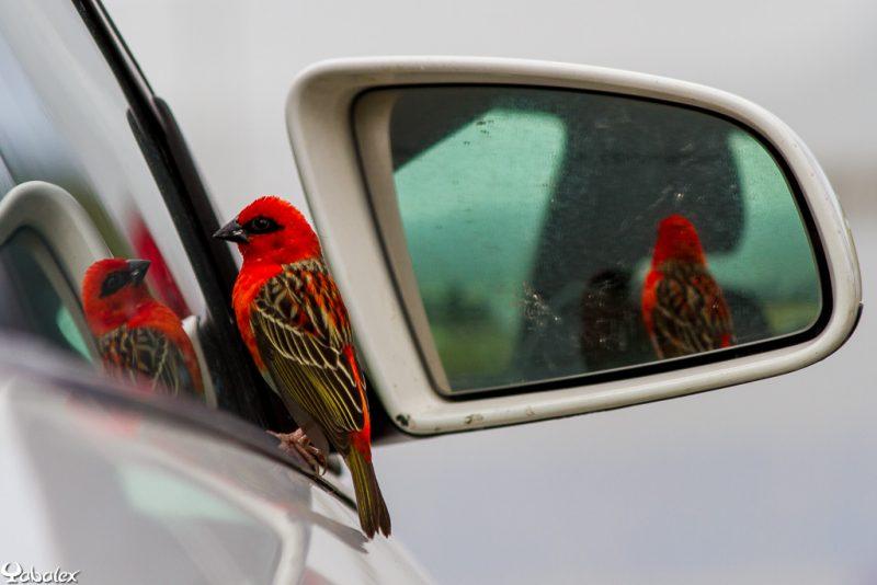 cardinal qui tape sur une vitre