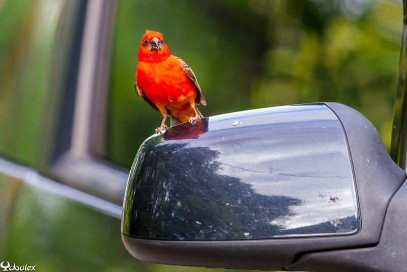 comportement oiseau cardinal, foudi