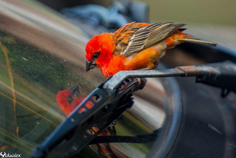 oiseau et son reflet dans la vitre