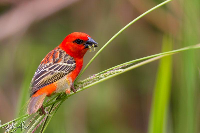 cardinal - male rouge - foudi de Madagascar - Yabalex