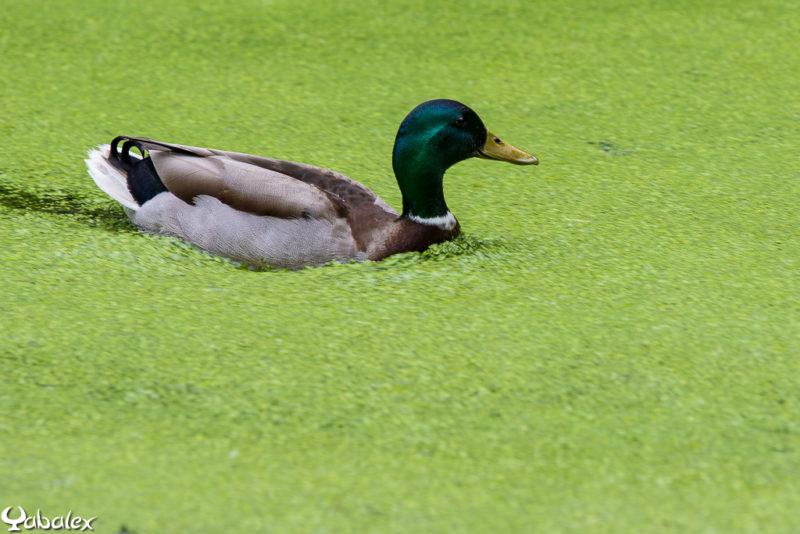Canard colvert - photo Yabalex