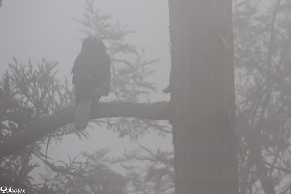 papangue male, busard de maillard dans le brouillard (circus maillardi)