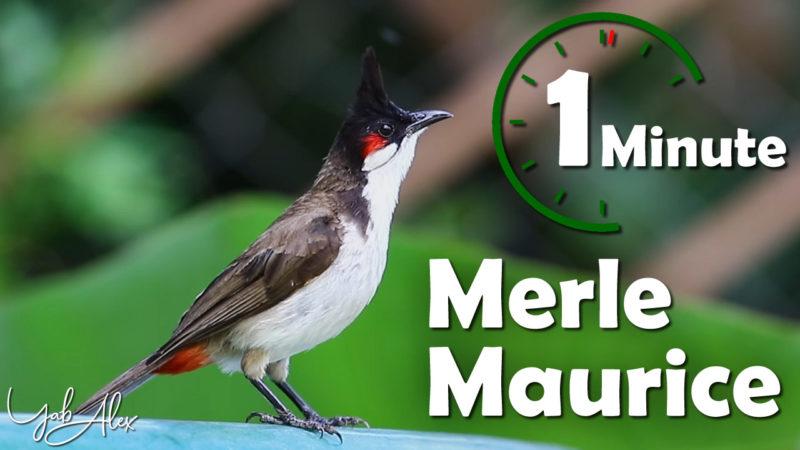 1 minute pour le merle Maurice (bulbul orphée) en vidéo