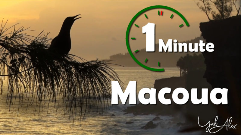 une minute pour le macoua (noddi brun)