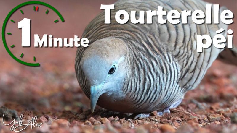 Tourterelle péi (pays), Géopélie zébrée, oiseau à La Réunion - Yabalex