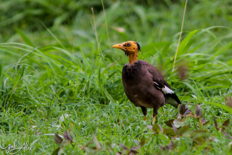 roi martin, ile de La Réunion - oiseaux Yabalex