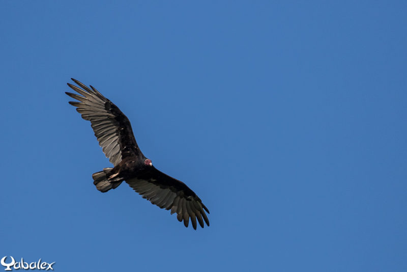 Urubu de la famille des vautours - Yabalex