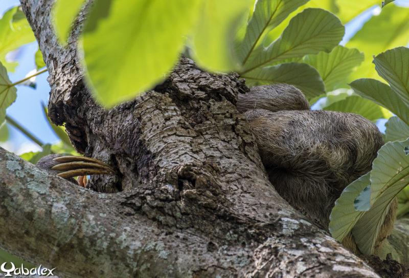 Le fameux paresseux dans son activité favorite : la sieste