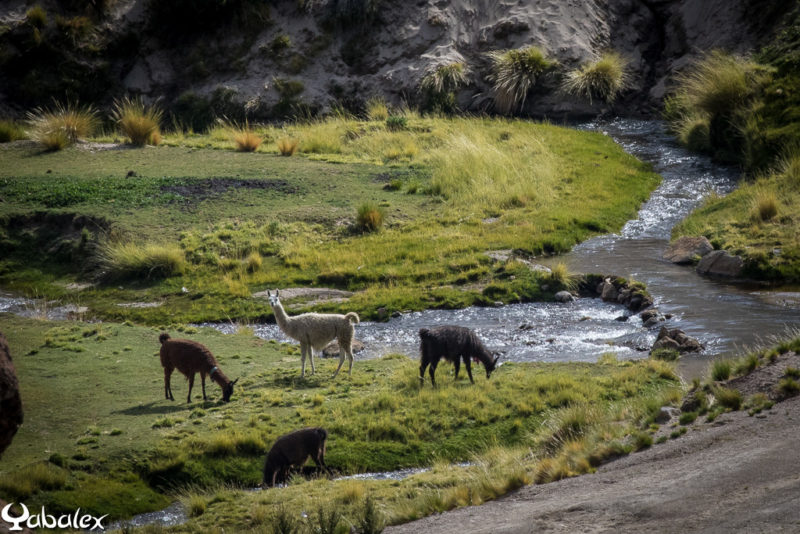 Un prairie, un ruisseau, des lama... il manque juste un condor qui passe au dessus et la scène serait parfaite