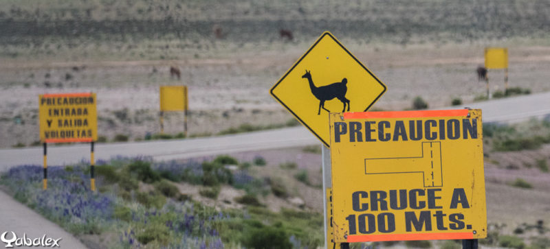 On connait le panneau : traversé de kangourou en Australie, ici c'est pour les lamas