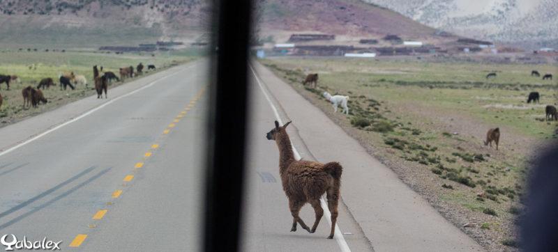 Effectivement, les lamas traversent la route