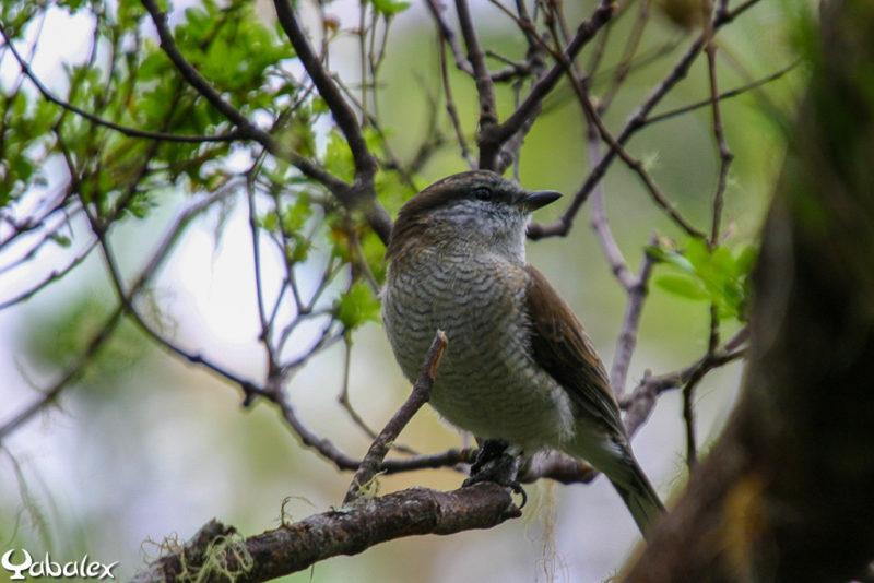 Femelle tuit-tuit, l'échenilleur de La Réunion (Lalage newtoni) dans la forêt de la Roche-Ecrite