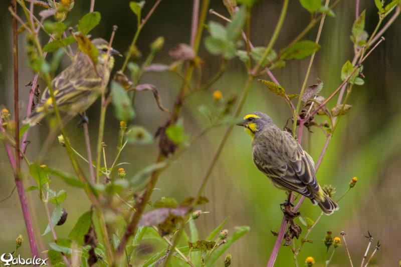 serin péi (serin pays), Serin du Mozambique à La Réunion - Serinus mozambicus