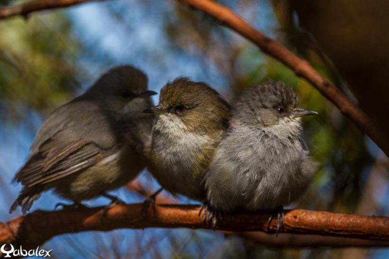 zosterops de bourbon, oiseaux formes grise et brune