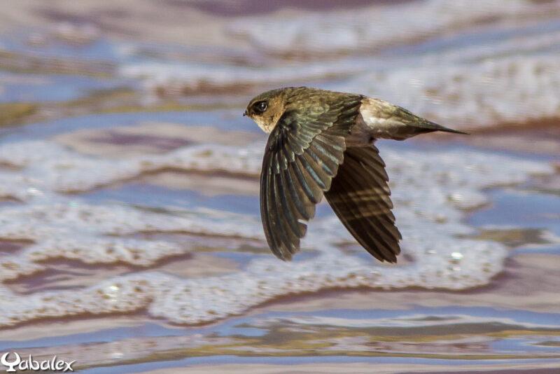 Salangane des Mascareignes - Aerodramus francicus - Mascarene Swiftlet - Yabalex