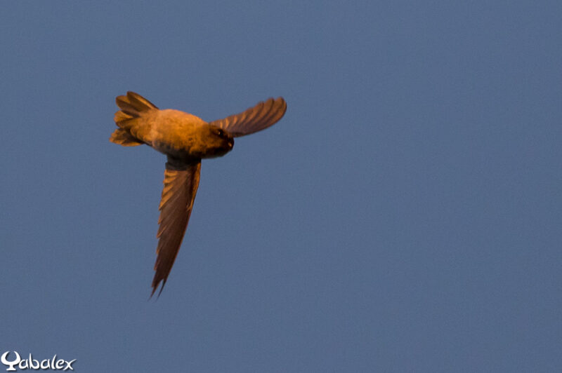 Salangane qui vole sur le dos - Yabalex