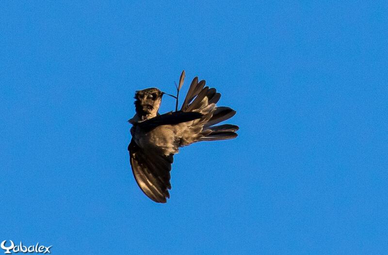 Lissage des plumes en plein vol !!!