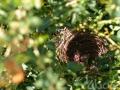 Le nid du merle maurice est parfois très accessible dans les jardins.