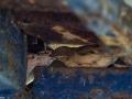 Nourrissage des poussins par la femelle moineau