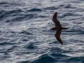 Puffin du Pacifique en mer
