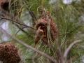 colonie de quelea quelea à la Réunion