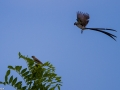 Parade du mâle, oiseau à longue queue devant la femelle. _MG_4296
