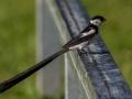 Mâle veuve dominicaine, oiseau avec sa longue queue en période de reproduction_MG_1195